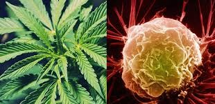 Does Cannabis Help Against Cancer?